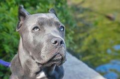 在湖的四个月的意大利大型猛犬藤茎corso 免版税库存照片