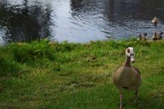 在湖的埃及鹅 免版税库存图片
