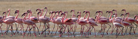 在湖的大小组火鸟 肯尼亚 闹事 纳库鲁国家公园 柏哥利亚湖国家储备 免版税库存图片