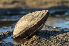 在湖的大贝类 免版税库存照片