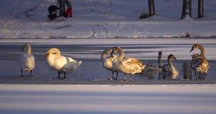 在湖的天鹅在冬天 免版税图库摄影