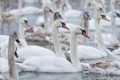 在湖的天鹅游泳 免版税图库摄影