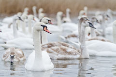 在湖的天鹅游泳 免版税库存照片