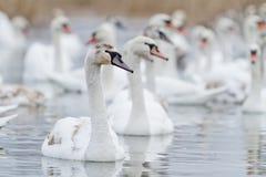 在湖的天鹅游泳 免版税库存图片