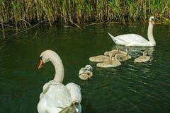在湖的天鹅系列 与刚孵出的雏的天鹅 库存照片