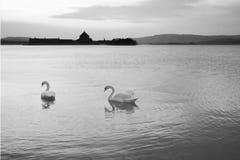 在湖的天鹅 图库摄影
