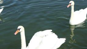 在湖的天鹅 影视素材