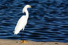 在湖的小白色白鹭立场 免版税库存照片
