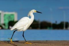 在湖的小白色白鹭 图库摄影