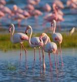 在湖的小组火鸟 肯尼亚 闹事 纳库鲁国家公园 柏哥利亚湖国家储备 免版税图库摄影