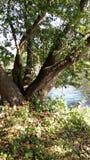 在湖的岸的一棵大,传播的树 库存图片