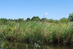 在湖的岸的共同的芦苇 免版税库存图片