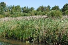 在湖的岸的共同的芦苇 免版税图库摄影