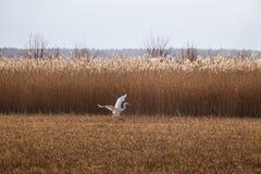 在湖的岸的附近一次美好的白色苍鹭飞行 库存图片