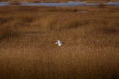 在湖的岸的附近一次美好的白色苍鹭飞行 图库摄影