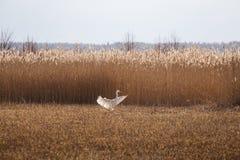 在湖的岸的附近一次美好的白色苍鹭飞行 库存照片