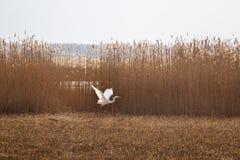 在湖的岸的附近一次美好的白色苍鹭飞行 免版税库存照片