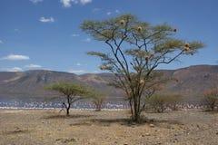 在湖的岸的结构树 柏哥利亚湖国家储备,肯尼亚,非洲 库存图片