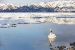 在湖的平静的美洲天鹅有反射的 免版税库存照片