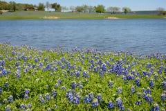 在湖的得克萨斯矢车菊 库存图片