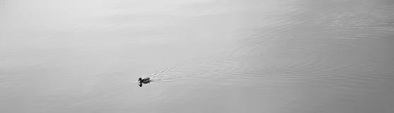 在湖的微小的鸭子 库存照片