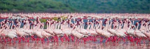 在湖的数十万群火鸟 肯尼亚 闹事 柏哥利亚湖国家储备 免版税库存照片