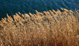 在湖的杂草 库存照片