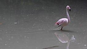 在湖的桃红色火鸟 股票视频