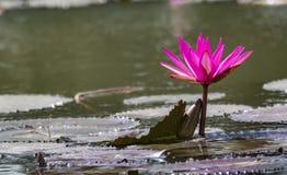 在湖的桃红色荷花-平静的场面 库存照片