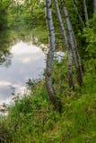 在湖的桦树在公园的背景中 免版税库存照片