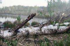 在湖的桦树日志 免版税库存照片