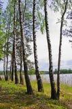 在湖的桦树 库存照片