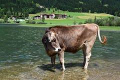 在湖的母牛 免版税库存图片