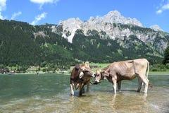 在湖的母牛 库存图片