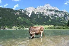 在湖的母牛 免版税图库摄影