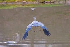 在湖的水禽Ardea灰质的飞行 免版税库存图片