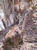 在湖的海狸咬的树干支持 免版税库存照片