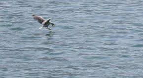 在湖的海鸥 库存图片