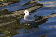 在湖的海鸥 免版税图库摄影