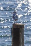 在湖的海鸥 免版税库存照片