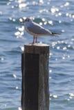 在湖的海鸥 免版税库存图片