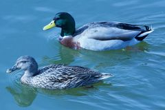 在湖的游泳夫妇 免版税库存图片