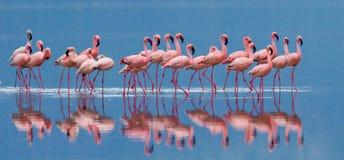 在湖的火鸟有反射的 肯尼亚 闹事 纳库鲁国家公园 柏哥利亚湖国家储备 库存图片