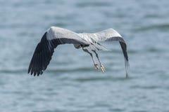 在湖的灰色苍鹭飞行 免版税库存图片