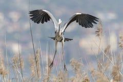 在湖的灰色苍鹭飞行 库存照片