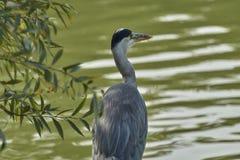 在湖的灰色苍鹭 免版税库存照片