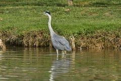 在湖的灰色苍鹭 库存照片