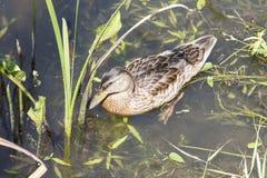 在湖的灰色野鸭 免版税库存图片