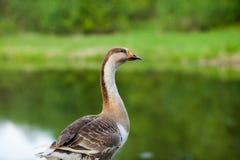 在湖的灰色鹅 免版税库存图片
