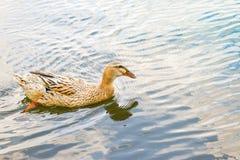 在湖的狂放的美好的棕色鸭子游泳在一个美好的春日 库存图片
